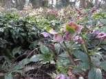 Lots of Hellebores!