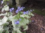 Brunnera, Jack Frost, in bloom.