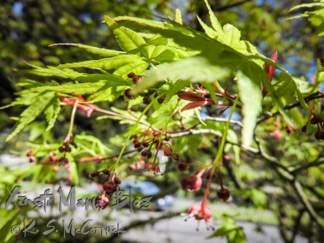 Tiny Japanese maple blossoms.