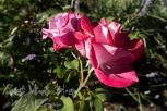 A rose in my own garden.