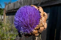 One that got away: an artichoke blossom in our garden.