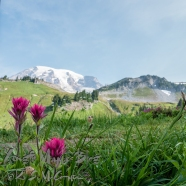 Indian Paintbrush, Paradise at Mount Rainier.