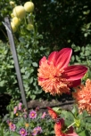 Dahlias, Bellevue Botanical Garden.