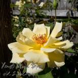 Full blown rose in the backyard.