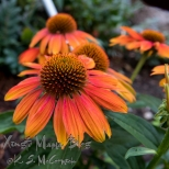 Cone flowers.