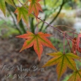 Japanese Maple.