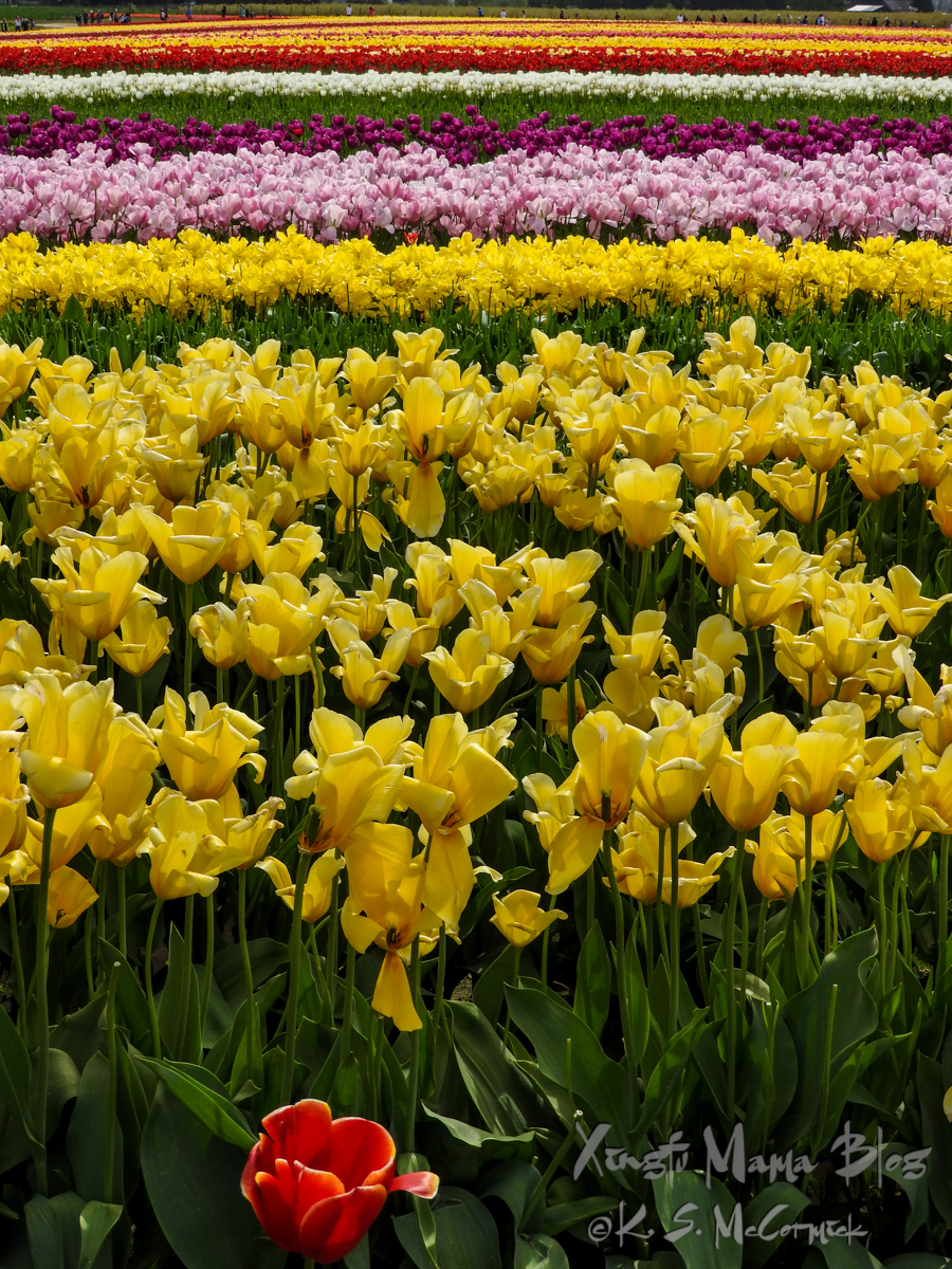 Stripes of Yellow, lilac, purple, white and red tulips in Skagit Valley tulip fields, Washington State.