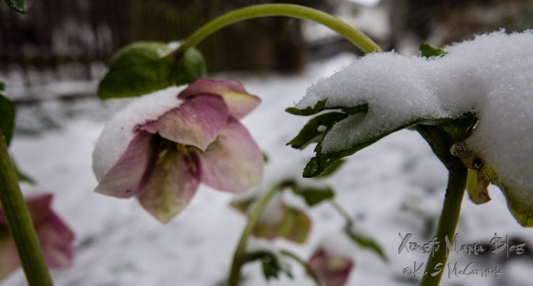 Light purple hellebore (Lenten Rose) in snow.