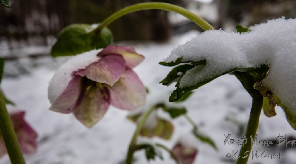 Light purple hellebore (Lenten Rose) in snow.