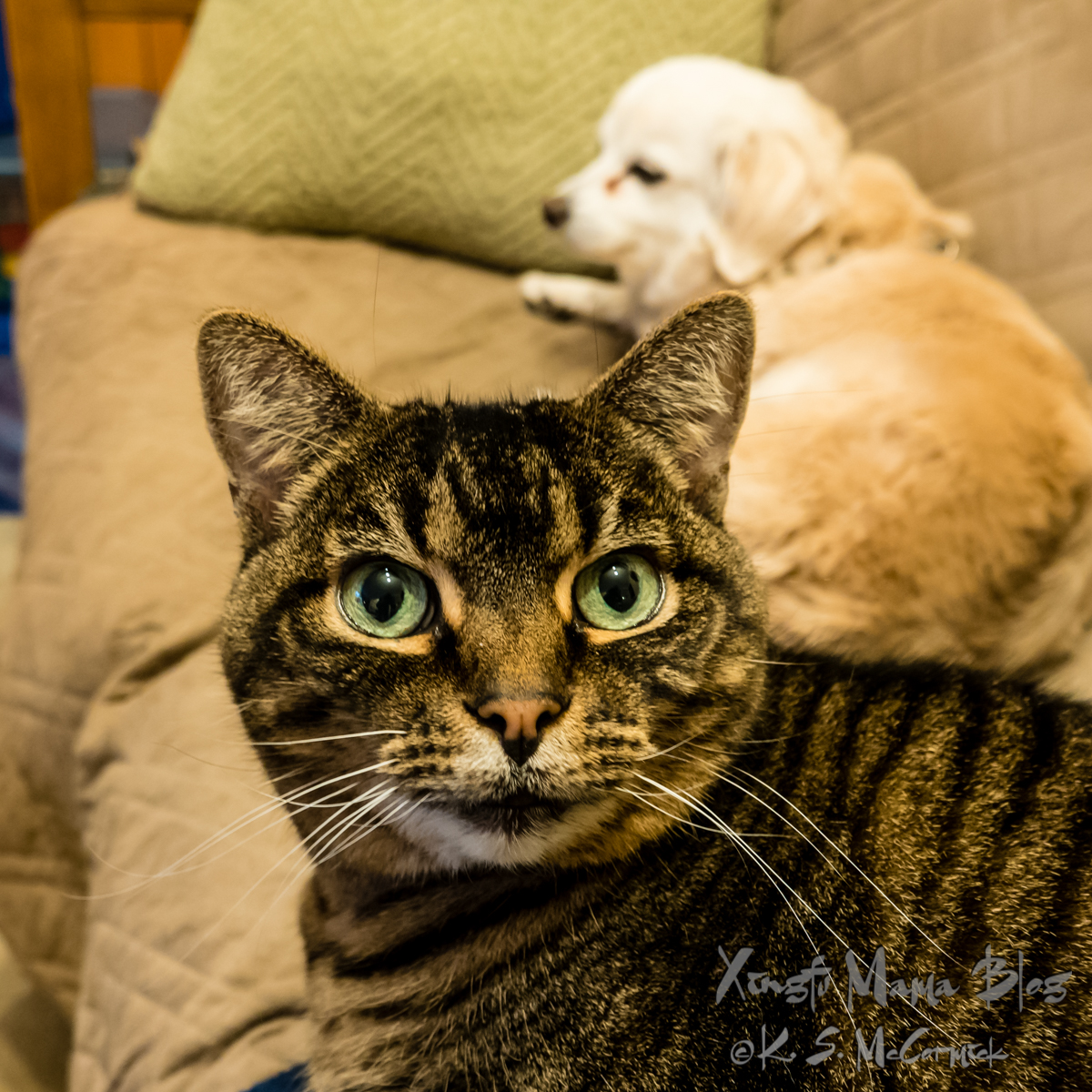 Brown and black tabby cat staring suspiciously at the camera.