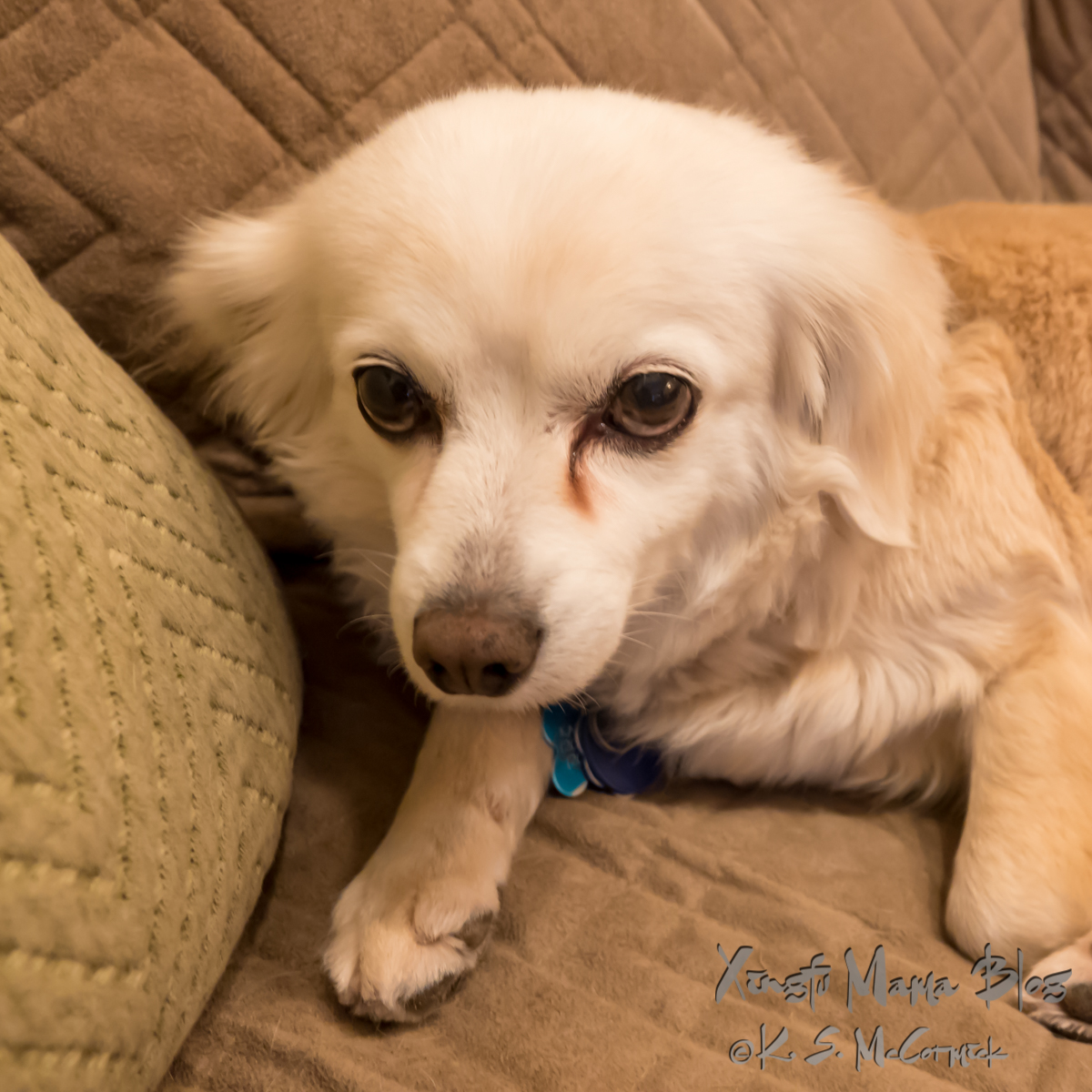 Cream colored chihuahua-pomeranian mix looking reproachful.