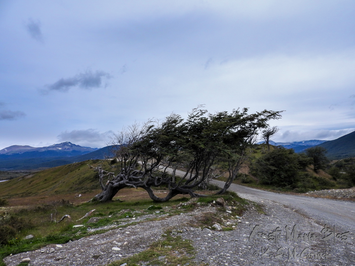 Flag tree: a beech tree growing sideways because of the wind.