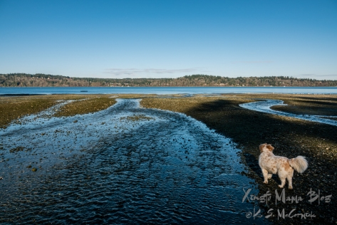 White dog with ginger colored spots, her tail waving in the breeze, looks out at Puget Sound across a beach with creeks flowing past her.