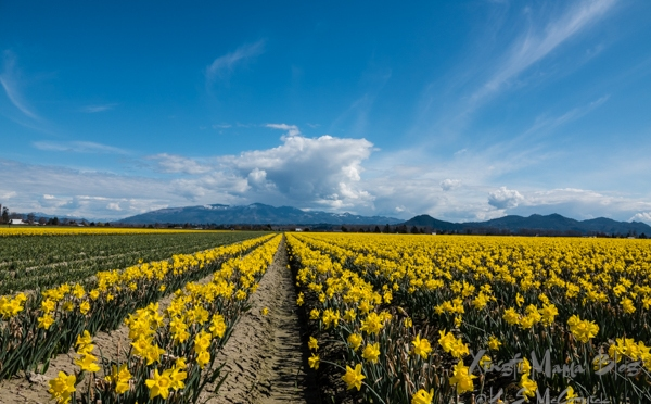 Daffodils and Anvil Clouds