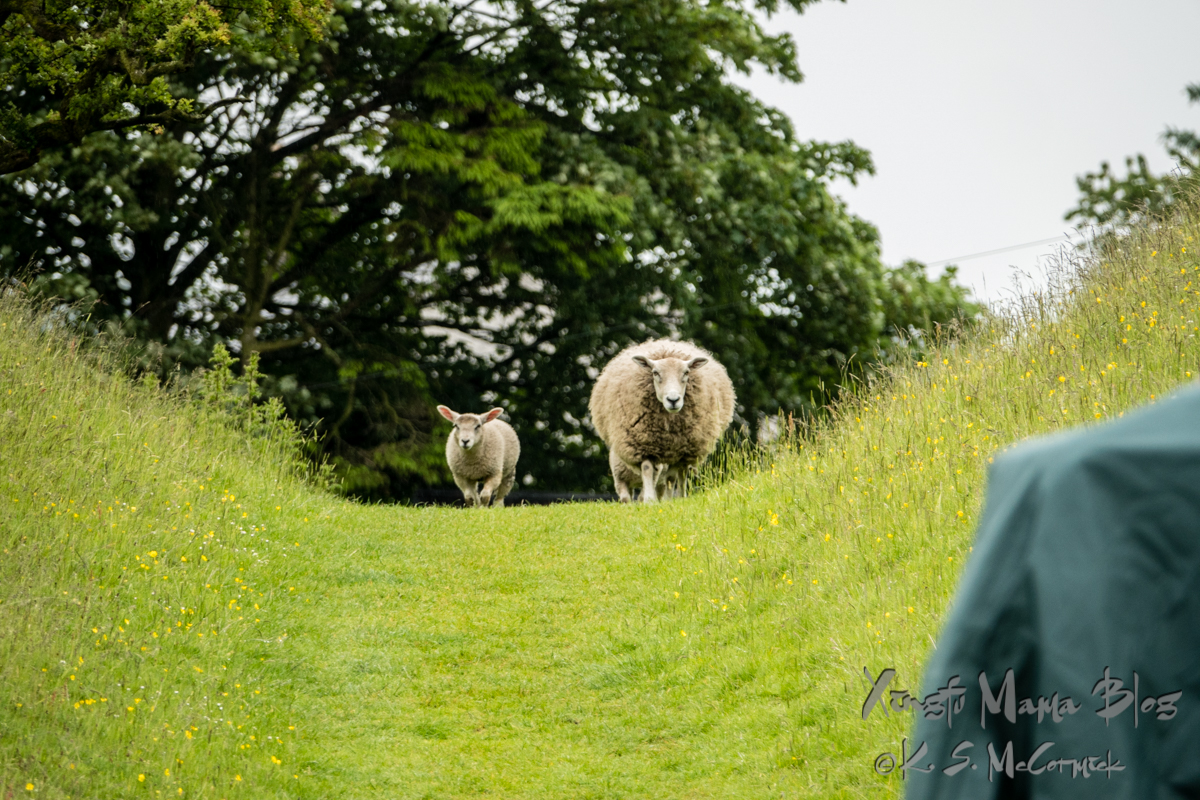 Ewe and lamb walking long the ditch in the vallum just outside of Gilsland in northern England.