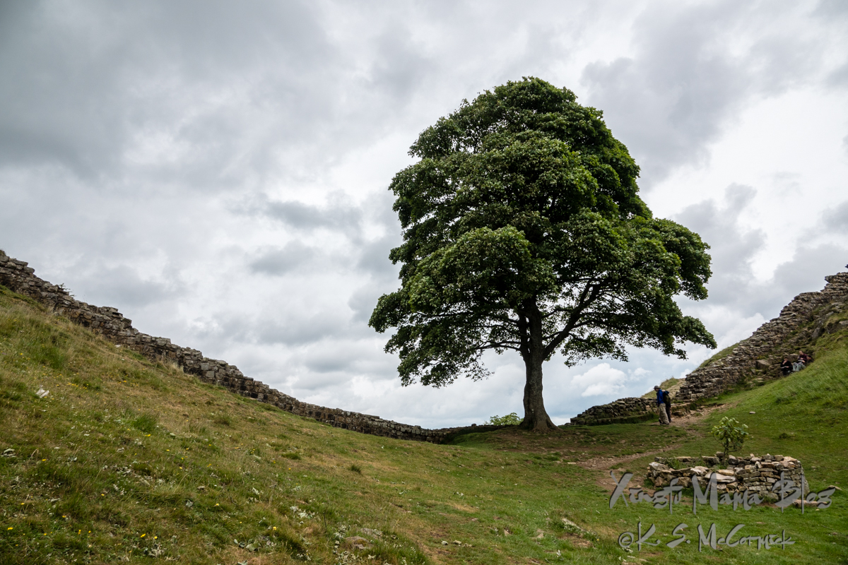 Sycamore tree growing at a low spot between two hills.