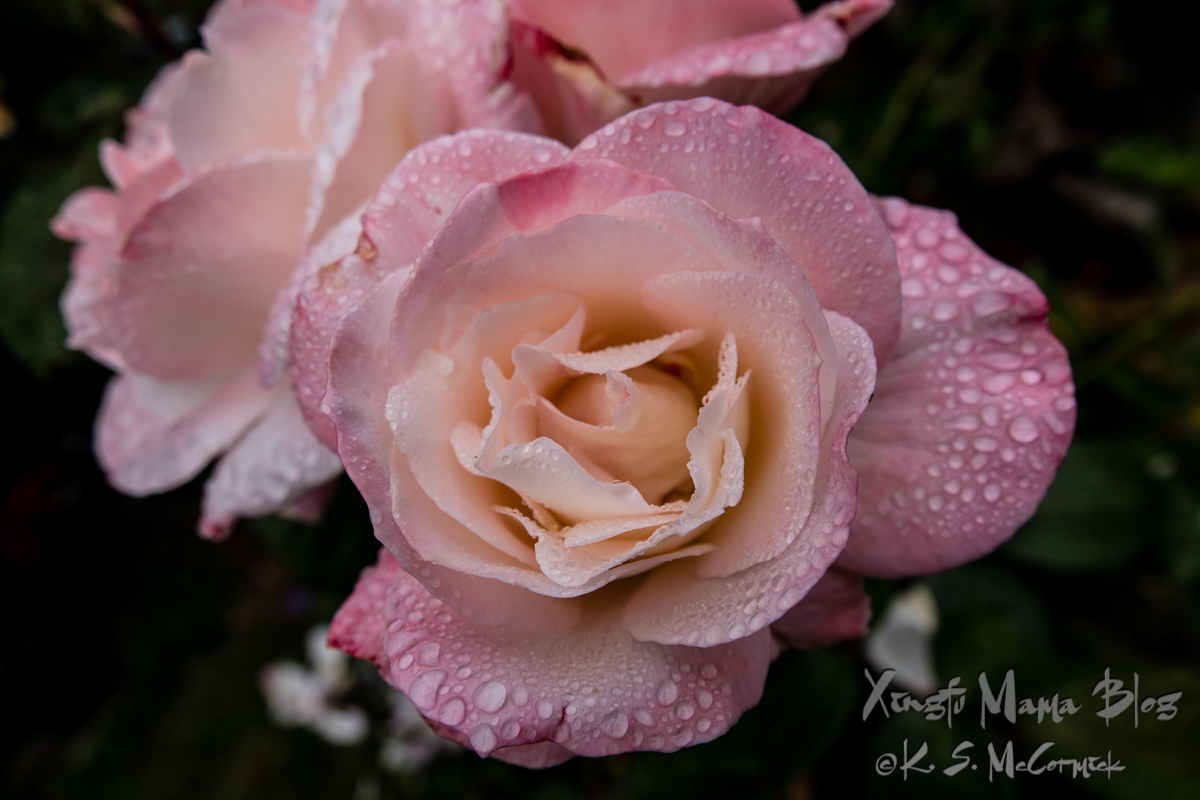 Pale pink roses in full bloom covered with water droplets.