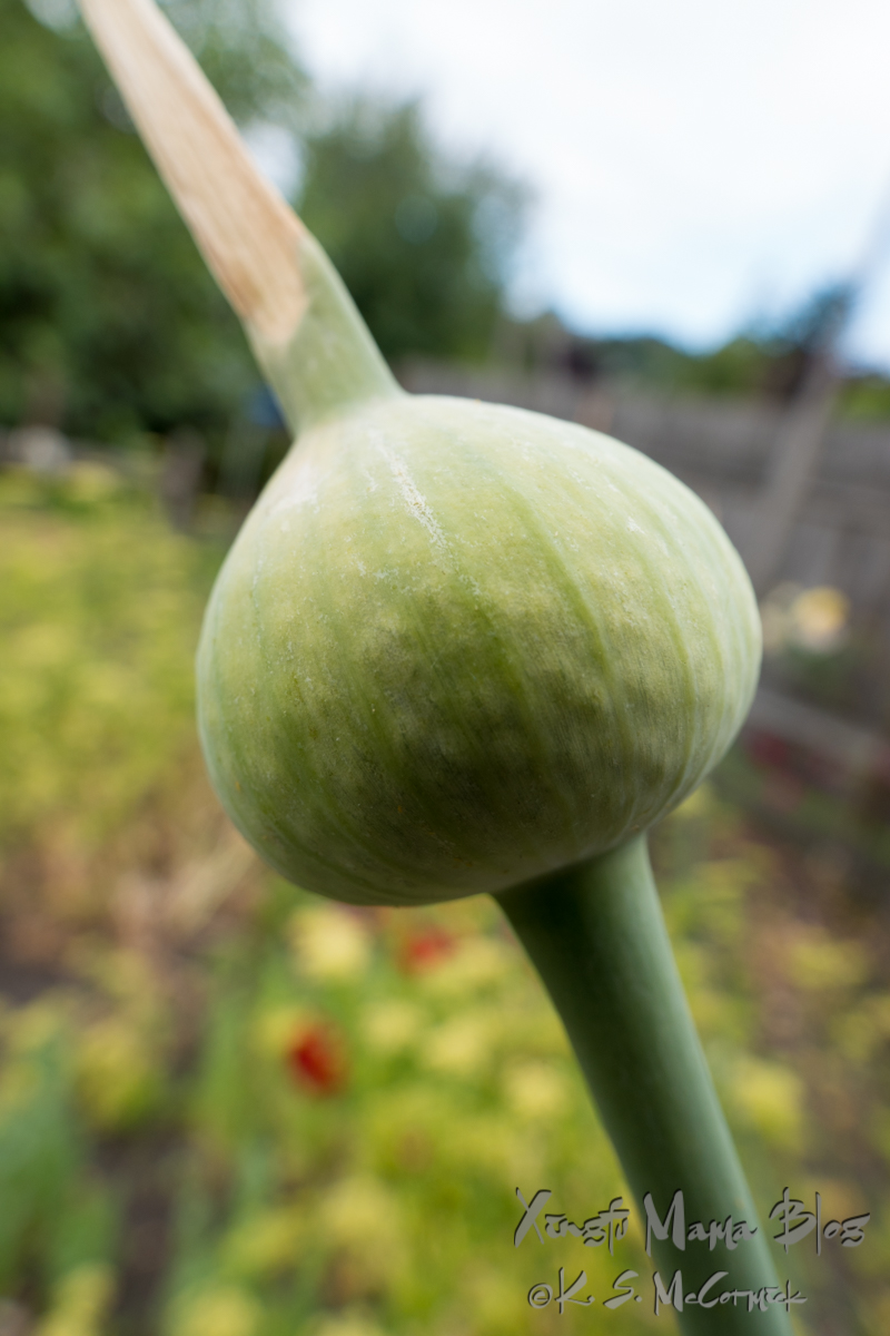 Close up of the top of a leek getting ready to flower.