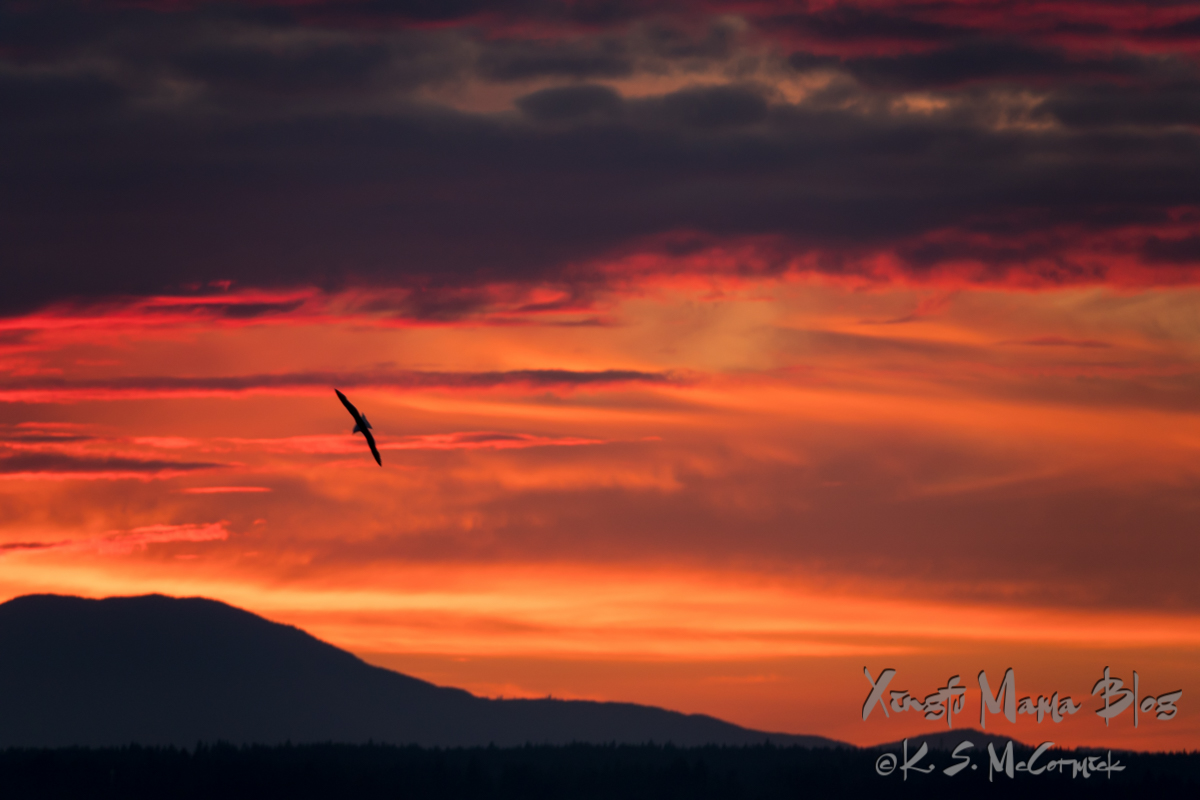 Silhouette of a seagull, back lit by the colorful peach and pink clouds of a sunset on Puget Sound.