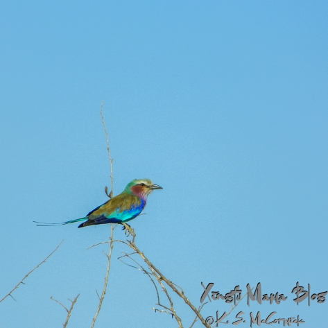 Lilac Breasted Roller (bird) perched on a small branch against a blue sky. Taken at Masai Mara National Park in Kenya.