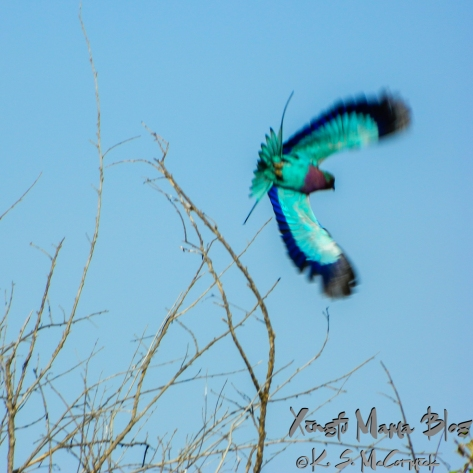 Lilac Breasted Roller (bird) taking flight against a blue sky. Taken at Masai Mara National Park in Kenya.