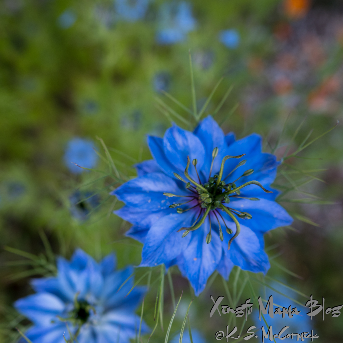 Close up of a blue flower: Love-in-a-mist.
