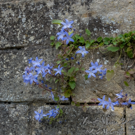 Blue star shaped flowers growing in the cracks of a stone wall in Bath, England.