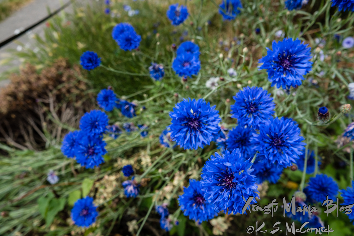 Bright blue bachelor's button flowers.