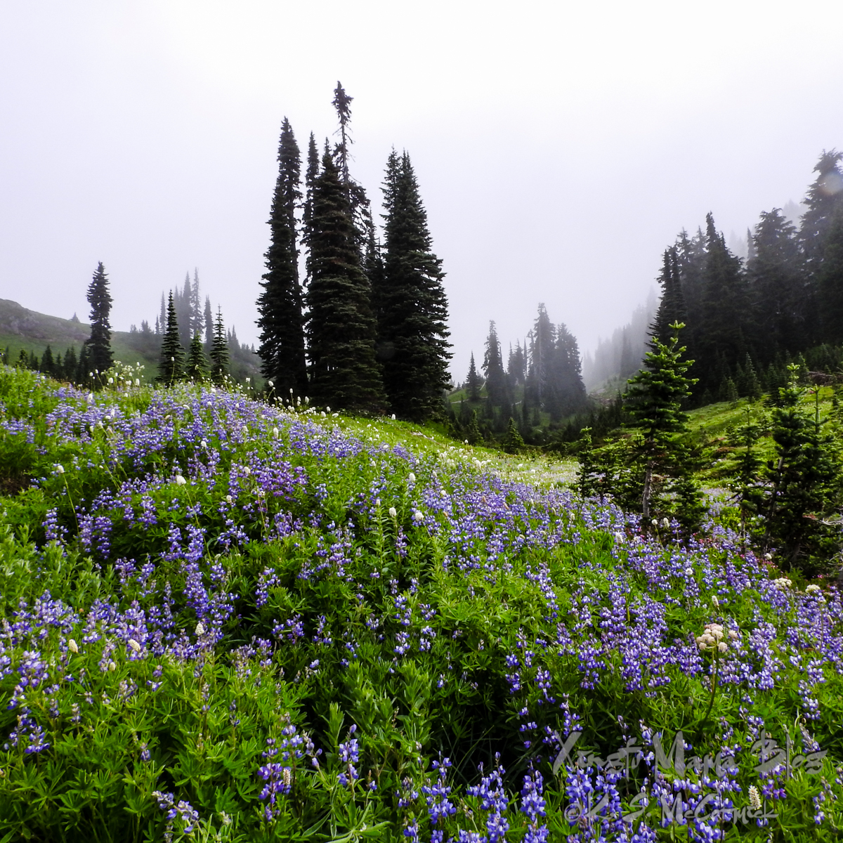 Trees in mist in the background, the foreground is an alpine meadow full of blue lupines.