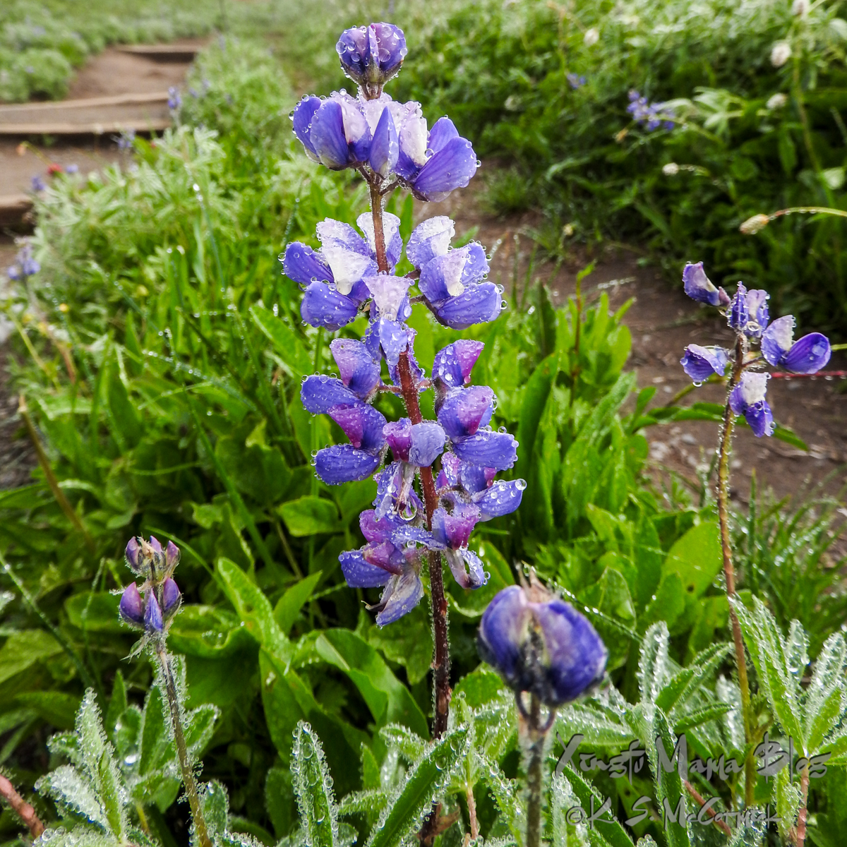 Alpine lupines sparkling with dew drops beside a trail at Mount Rainier National Park.