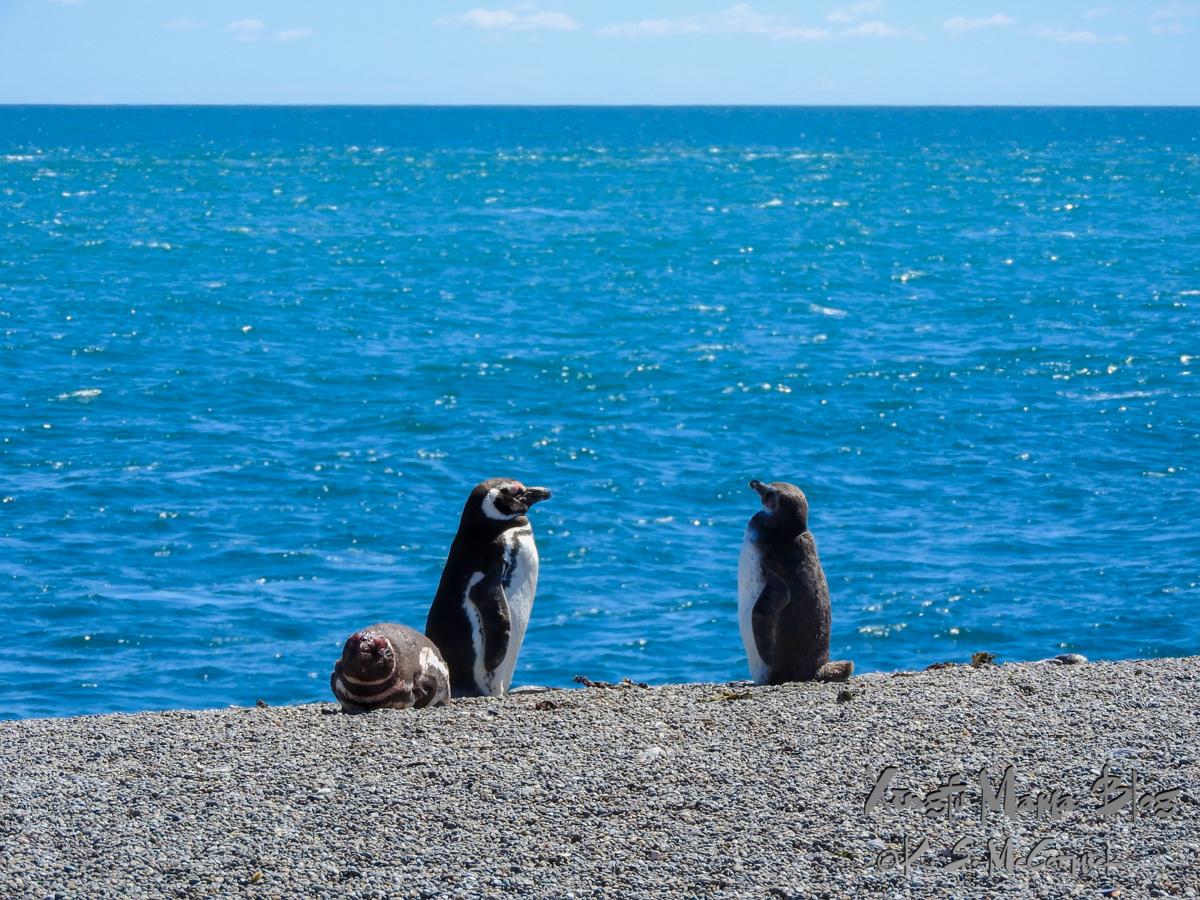 Magellanic Penguins on the coast of Peninsula Valdes in Argentina.