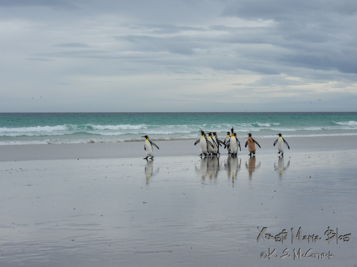 King Penguins on the sandy shore of Volunteer Point in the Falkland Islands.