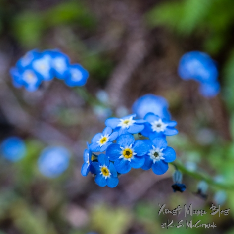 Close up f forget-me-not blue flowers with a bokeh background.