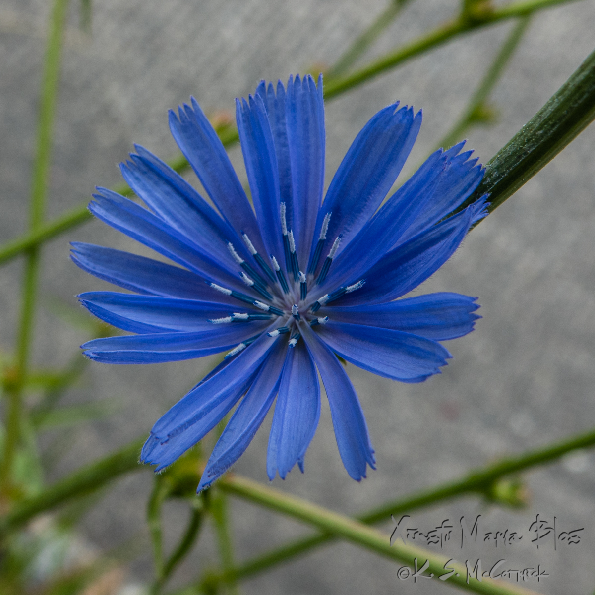 Close-up of a chicory flower.