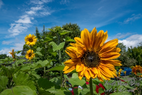 A few sunflowers on a sunny day with a very blue sky.