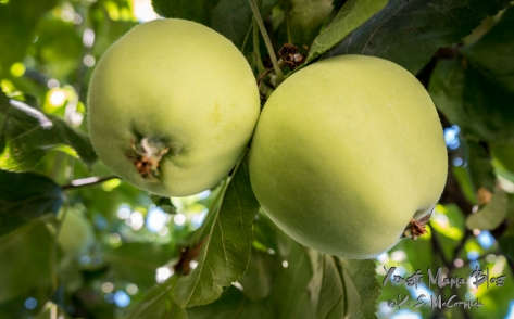 Two green, yellow transparent apples are almost ripe.