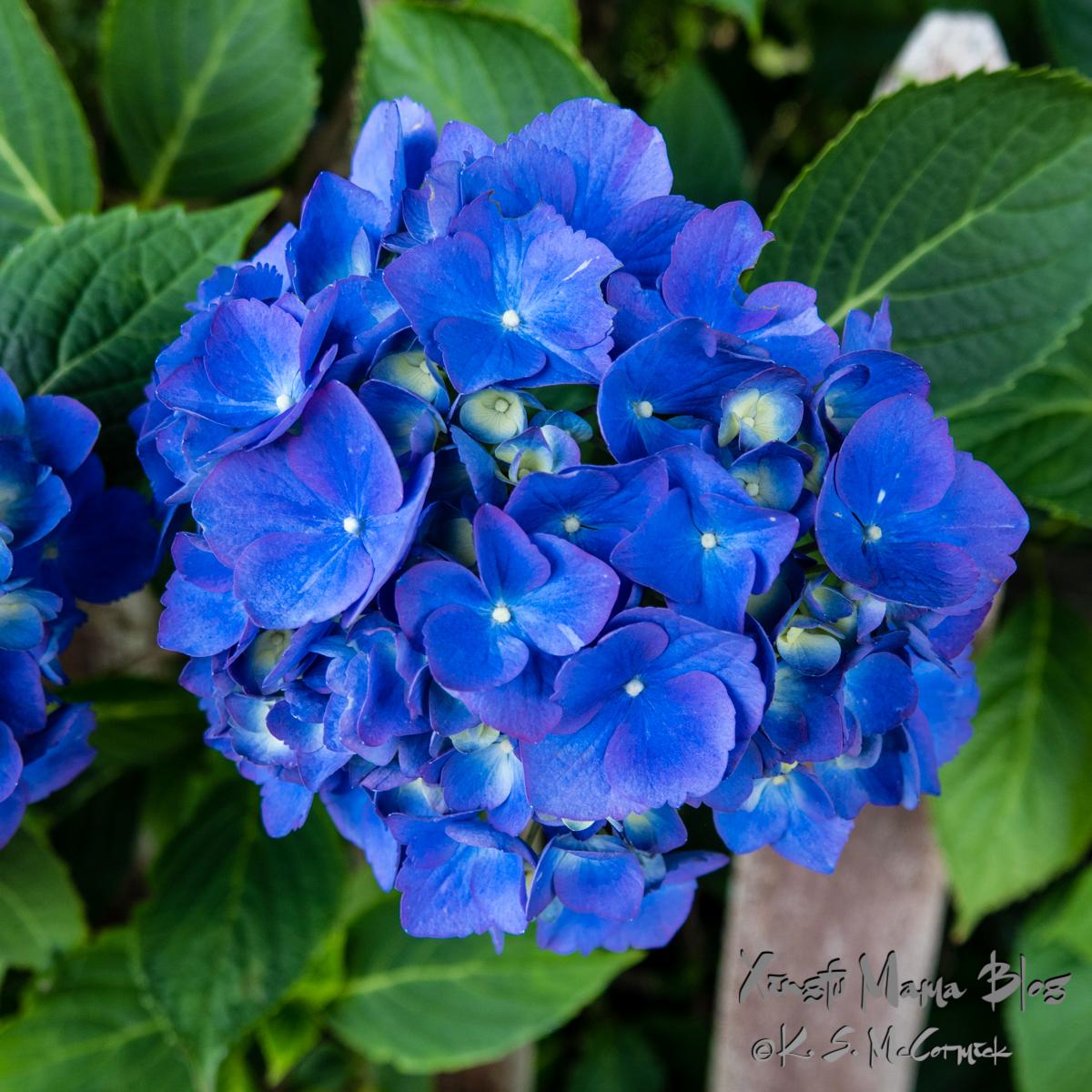 Deep blue hydrangea.