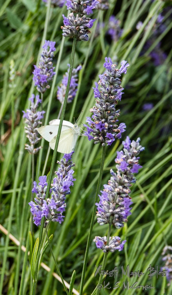 White butterfly feeding on lavender.