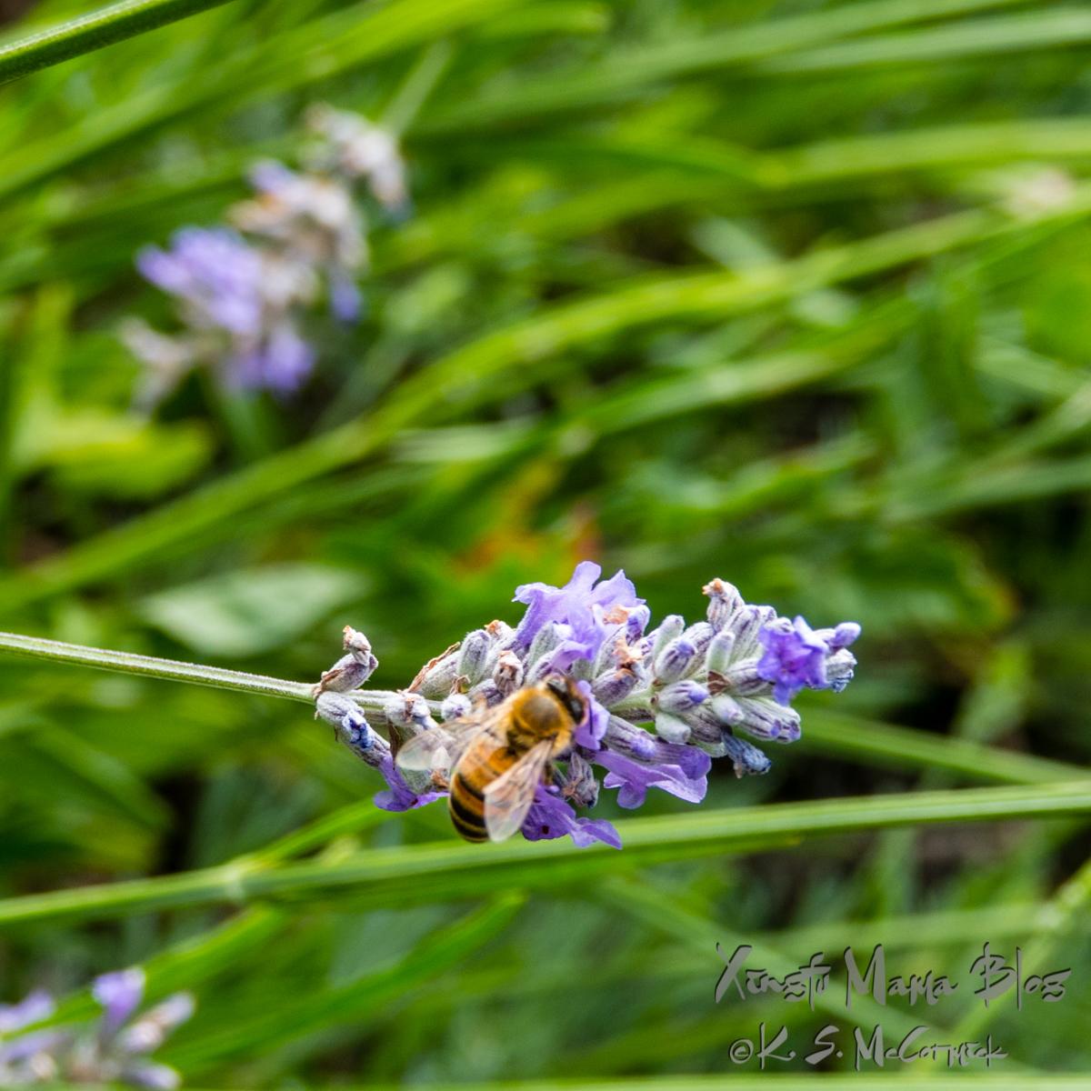 Honey bee feeding on lavender.