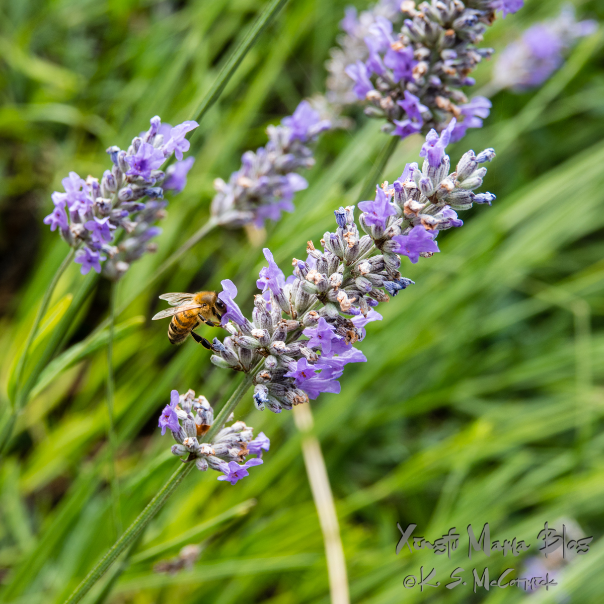 Honey bee feeding on lavender.