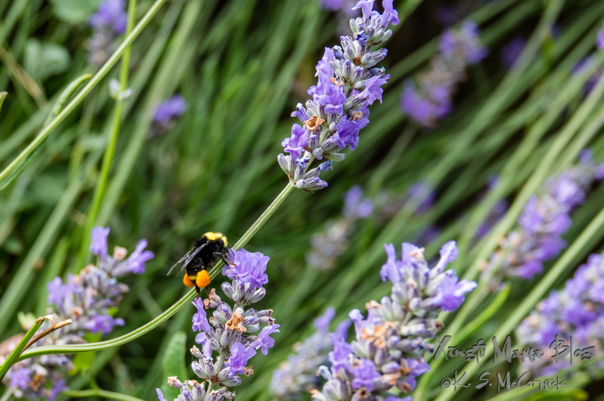 Bumbly sort of bee with bright pollen sacs feeding on lavender.