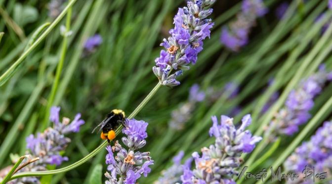 Lavender alive