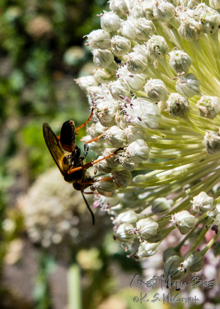 Wasp on a leek flower.