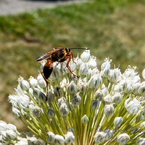 Wasp on a leek flower.