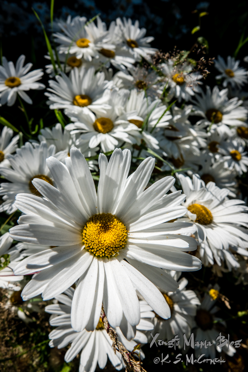 Ox eye daisies.