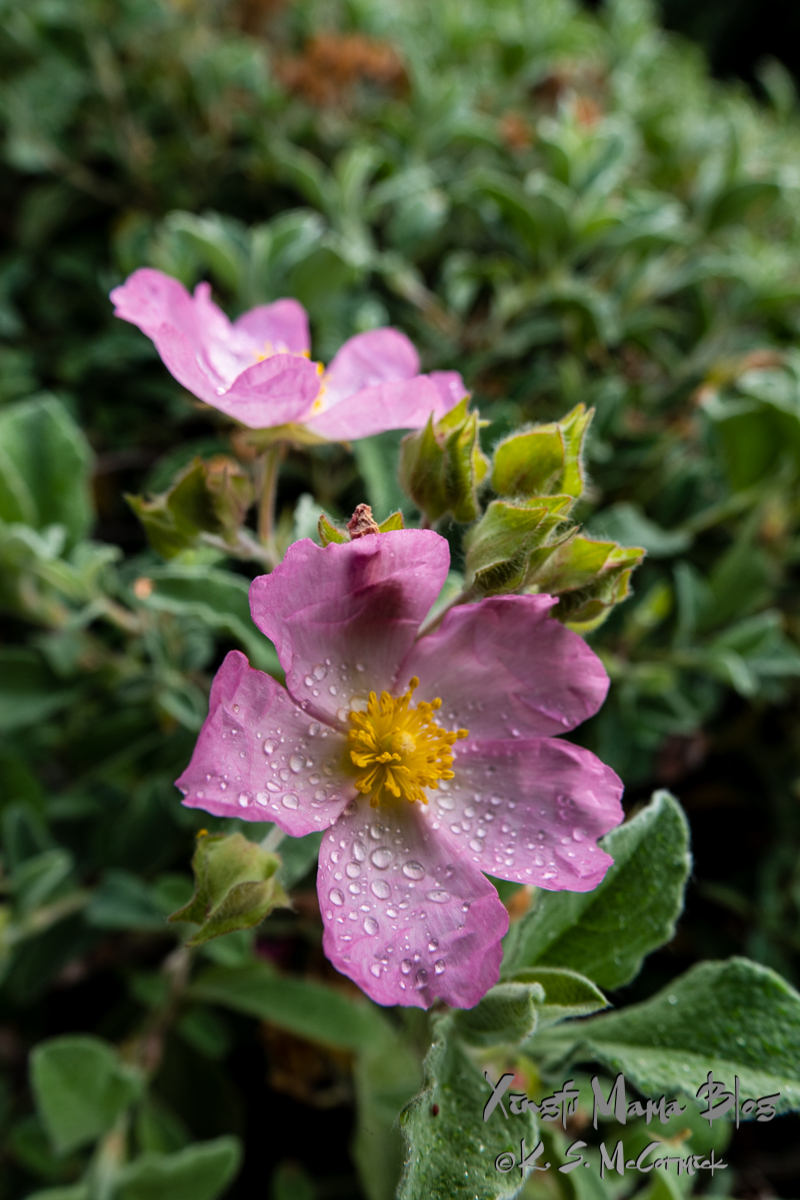 Rain drops on rock roses.
