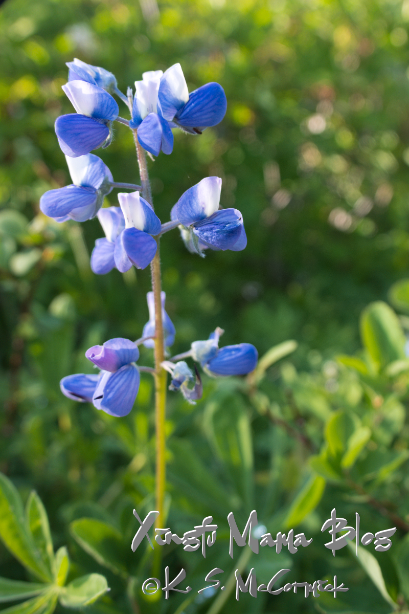 Blue alpine lupine.