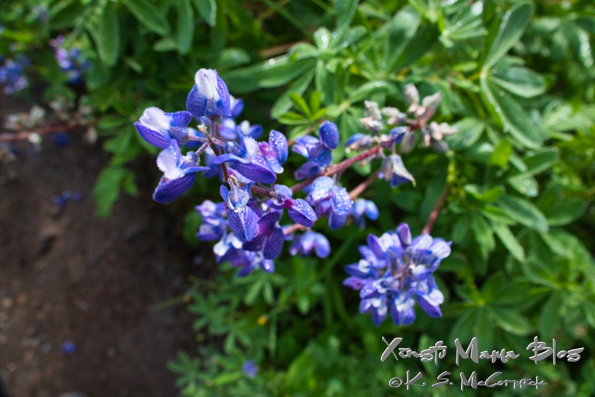 Blue alpine lupines.