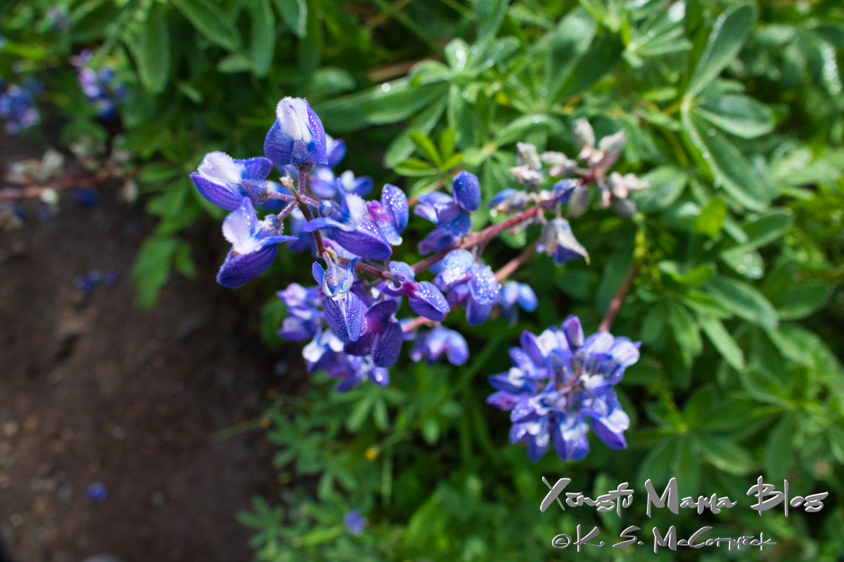 Blue alpine lupines.