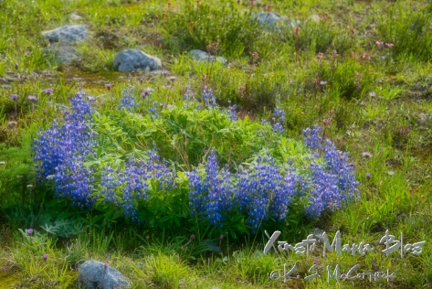 A ring of blue alpine lupines in a meadow at Mount Rainier.